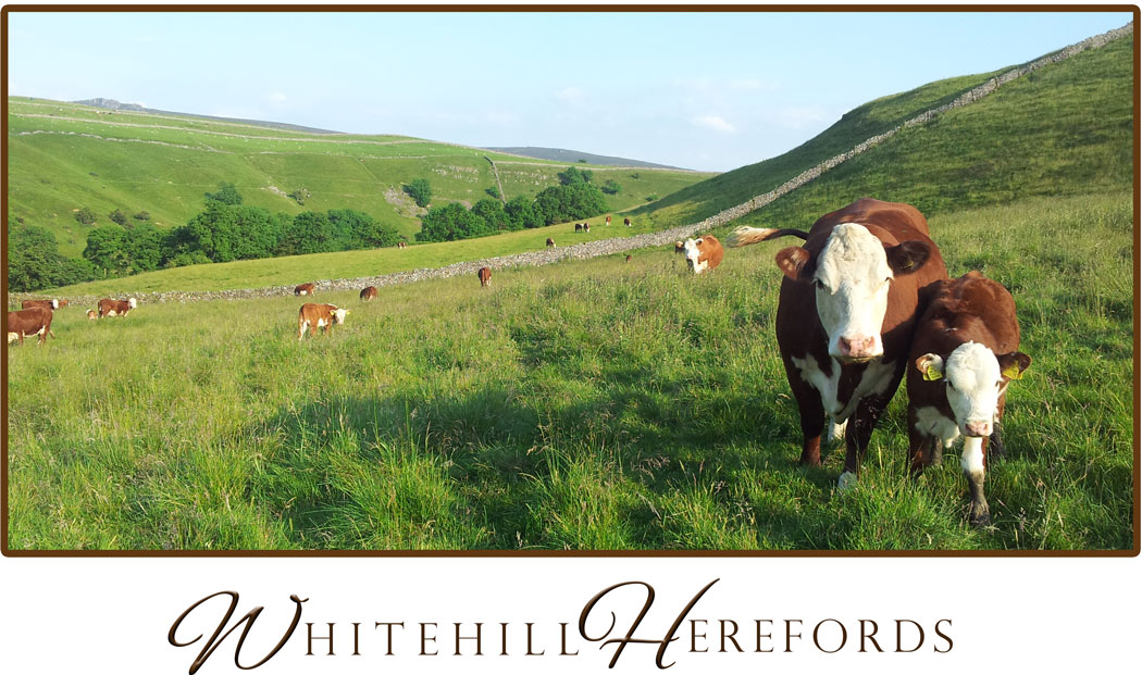 whitehill-herefords-homepage-photo