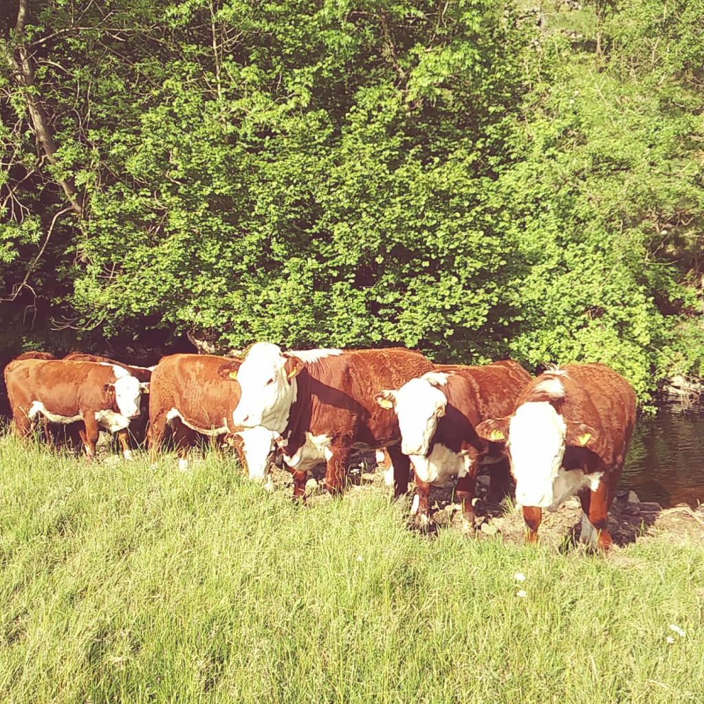 2017 bulling heifers (1)