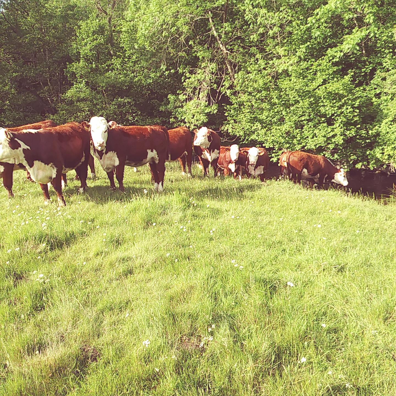 2017 bulling heifers (2)