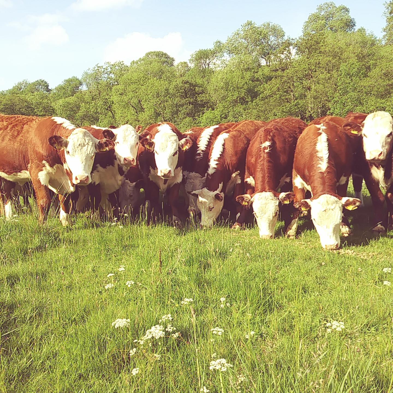 2017 bulling heifers (3)
