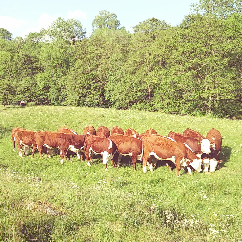 2017 bulling heifers (4)